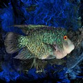 Turquoise Texas Cichlid  by Scott Wallace Digital Designs