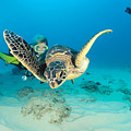 Turtle And Diver by Dave Fleetham - Printscapes