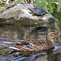 Turtle And Duck by Ben Upham III