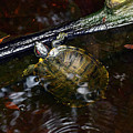 Turtle And The Stick by William Tasker