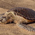 Turtle On The Sand by Pamela Walton
