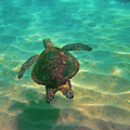 Turtle Sailing Over Sand by Bette Phelan