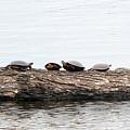 Turtles by Linda Kerkau