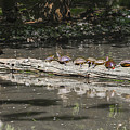 Turtles Sunning On A Log by Bill Cannon