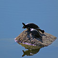Turtles Tanning by Maria Keady