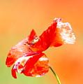 Tuscan Poppy by Nadine Rippelmeyer