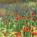 Tuscan Wildflowers by Michael Hudson