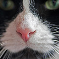 Tuxedo Cat Whiskers And Pink Nose by Toby McGuire