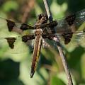 Twelve Spotted Skimmer Dragonfly by Lynne Miller