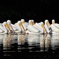 Twelve White Pelicans On A Dark Background. by John Harmon