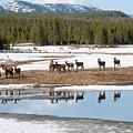 Twice The Elk by Steve Stuller