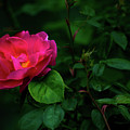 Twilight Rose by Douglas Milligan