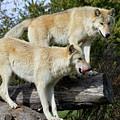 Twin Blond Wolves by John Wijsman