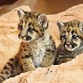 Twin Cougar Kittens by Melody Watson