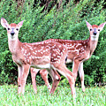 Twin Fawns by Angelcia Wright