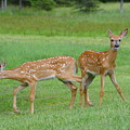 Twin Fawns Playing by Sandra Updyke