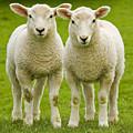 Twin Lambs by Meirion Matthias