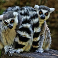Twin Lemurs by Judy Vincent