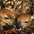 Twin Newborn Fawns by Michael Dougherty