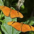 Twin Orange Butterflies by Bob Slitzan