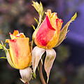Twin Roses Of Love by Bruce Bottomley