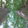 Twin Trees by Liza Eckardt