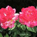 Twin Tudor Roses by Angelcia Wright