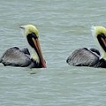 Twins Brown Pelican In Gulf Of Mexico by Edit Szoke
