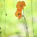 Twins. Orange Poppies by Jenny Rainbow