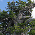 Twisted And Gnarled Bristlecone Pine Tree Trunk Above Crater Lake - Oregon by Christine Till