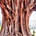 Twisted Gnarled Tree by Ashish Agarwal