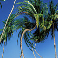 Twisted Palms On The Island Of Trinidad by Carl Purcell