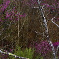 Twisted Redbud In The Woods by Thomas R Fletcher