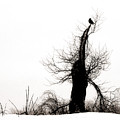 Twisted Tree With Snow Crow by Gothicrow Images