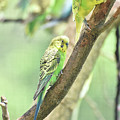 Two Adorable Budgie Parakeets Living In Nature by DejaVu Designs
