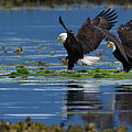 Two American Bald Eagle Touching Down At Low Tide by Gary Langley