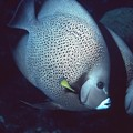 Two Angelfish by Bob Commer