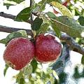Two Apples by Edward Sobuta