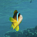 Two-banded Clownfish by Hagai Nativ