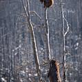 Two Bears Up A Tree by Bill Cubitt
