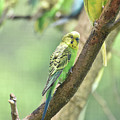 Two Beautiful Yellow Parakeets In A Tree by DejaVu Designs