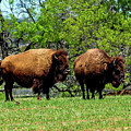 Two Buffalo by Marilyn Burton