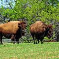 Two Buffalo Standing by Marilyn Burton