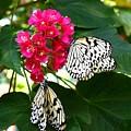 Two Butterflies by Judy  Waller