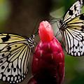 Two Butterflies by Sue Harper