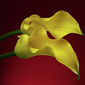 Two Calla Lily Flowers On Red Background by Sergey Taran