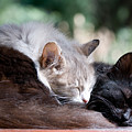 Two Cats  Sleeping  by Michalakis Ppalis