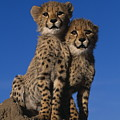 Two Cheetah Cubs by Martin Harvey and Photo Researchers