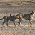 Two Cheetahs by Chris Scroggins