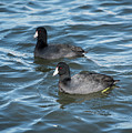 Two Coots by Robert Potts